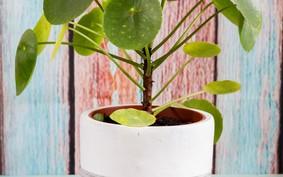 Pilea: descubra a planta-chinesa-do-dinheiro que é ideal para ter dentro de casa