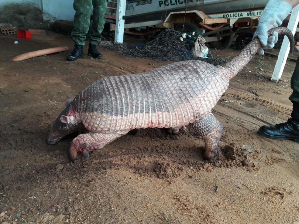 Tatu canastra é o maior da espécie (Foto: Divulgação/Polícia Militar Ambiental)