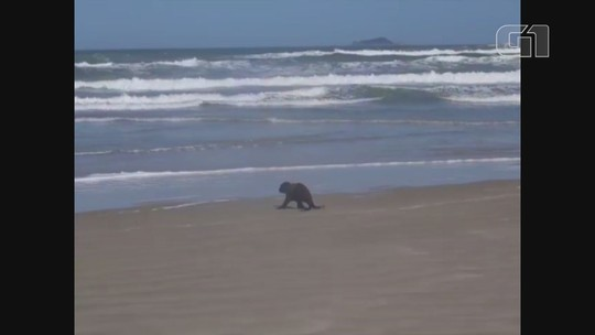 Lobo-marinho reabilitado 'corre' para voltar ao mar em praia de SP; vídeo