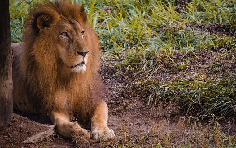 Leão do zoológico do Recife morre de câncer na mandíbula e problemas hepáticos