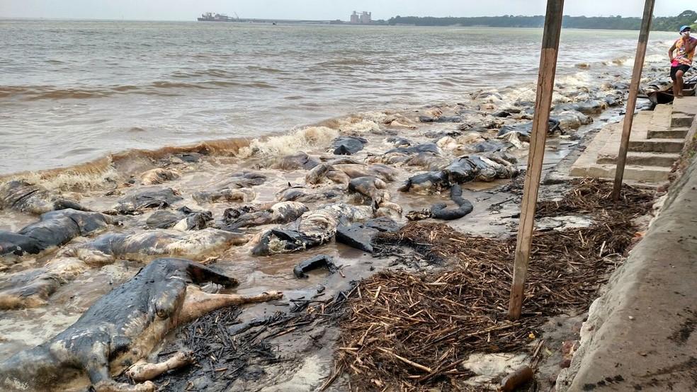 Centenas de animais mortos foram levados pelo rio Pará até a praia de Vila do Conde, onde ficaram encalhados na areia — Foto: Divulgação