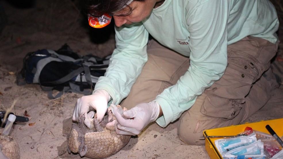 Em expedições noturnas, pesquisadores conseguiram encontrar cinco tatus-bolas (Foto: Samuel Portela via BBC)