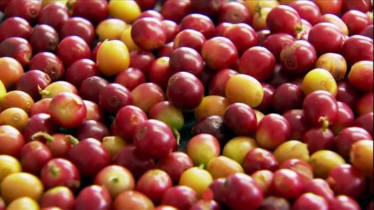 Clima da Chapada Diamantina favorece a produção do café gourmet