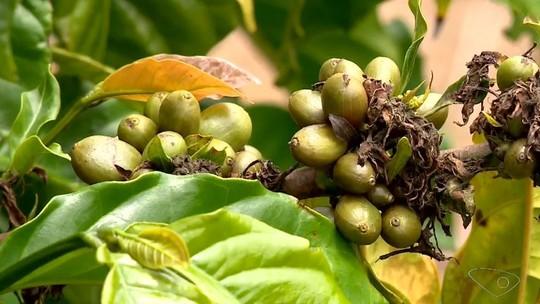 Preço do café conilon cai e desanima produtores rurais do ES