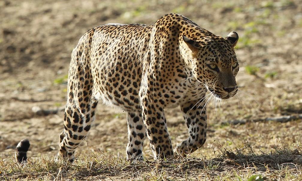 Nesta foto de 2012, um leopardo caminha no Parque Nacional Yala em Yala, a cerca de 300 km do centro de Colombo, no Sri Lanka (Foto: REUTERS/Dinuka Liyanawatte)