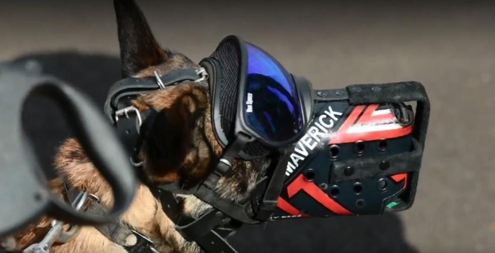 Cães do Deap-SC usam Equipamento de Proteção Individual. — Foto: Reprodução/NSC TV