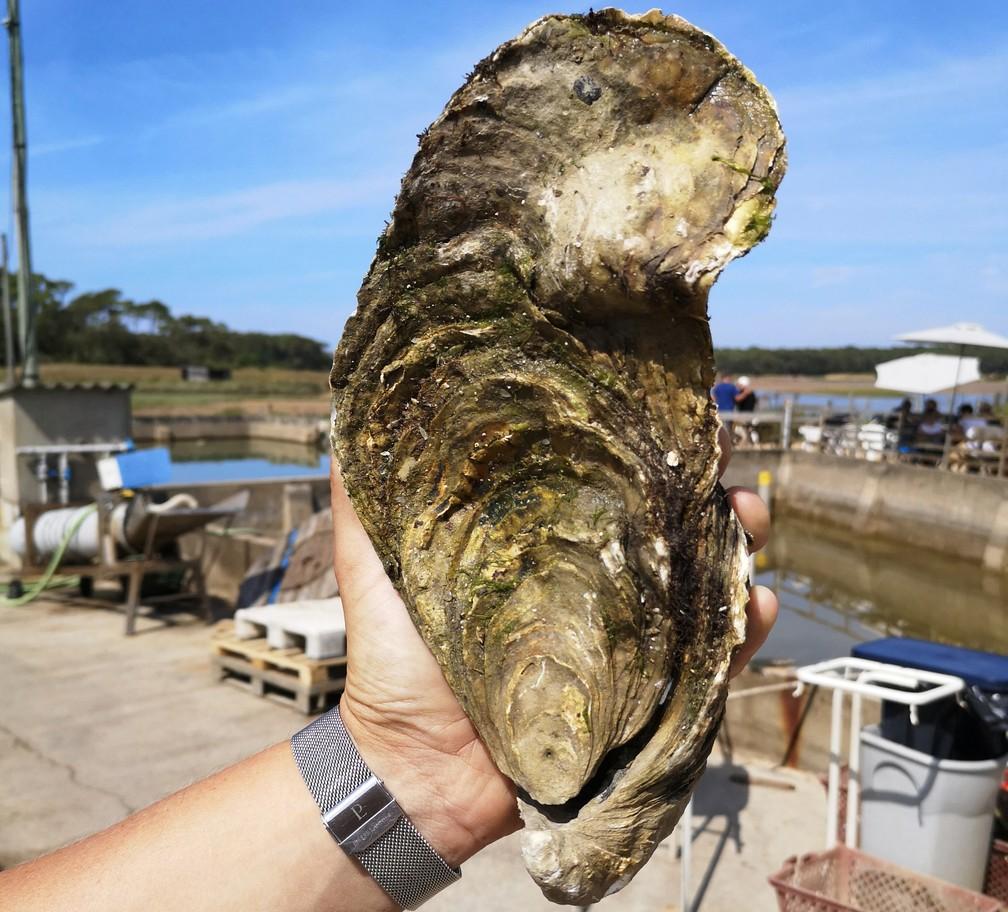 Ostra gigante de 25 centímetros e 1,4 kg foi encontrada na França neste mês — Foto: Handout/Viviers de la Guittière/AFP