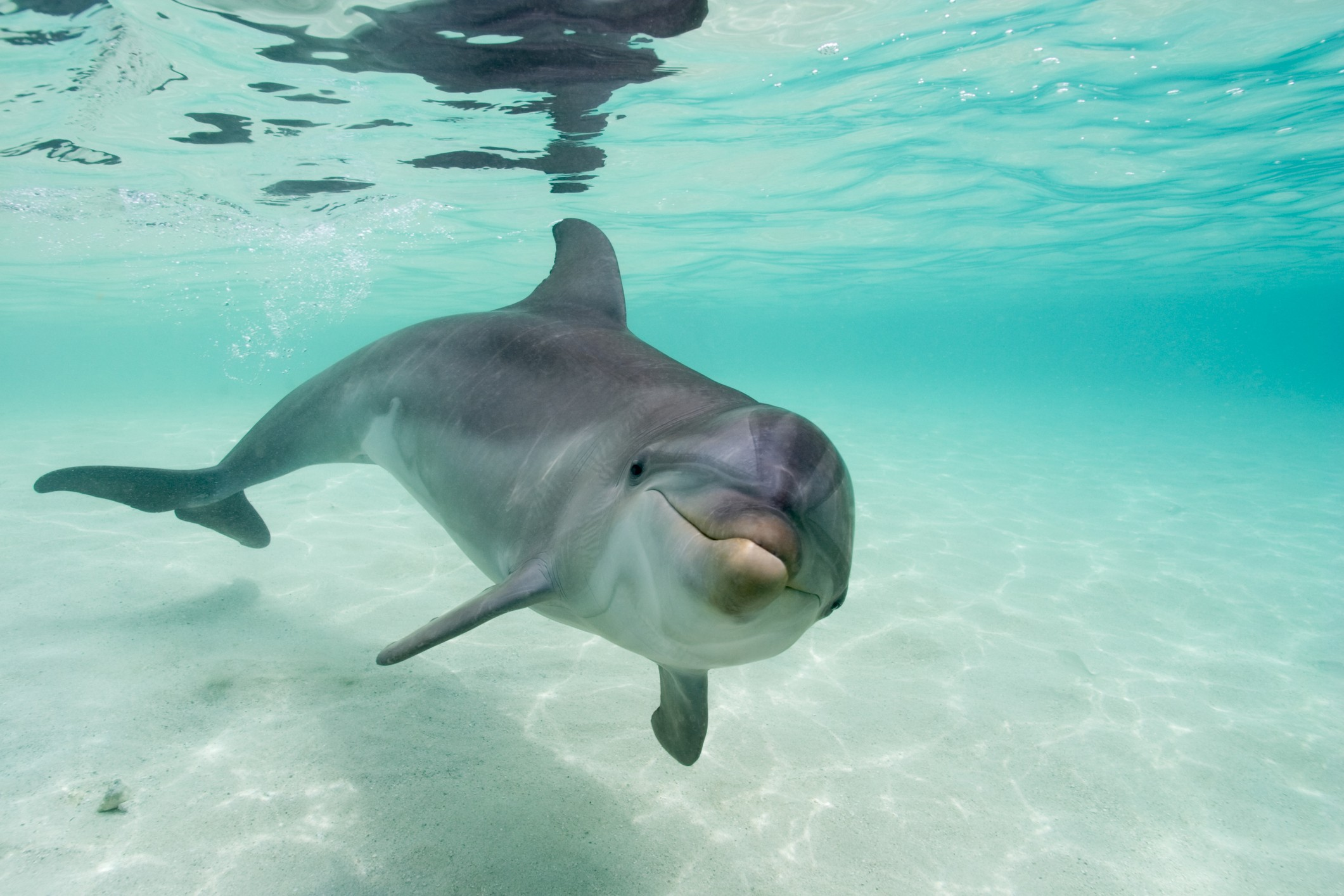 Bottlenose Dolphin (Tursiops truncatus) in Caribbean Sea near Roatan Island. | Location: near Roatan Island, Honduras. (Foto: Getty Images)