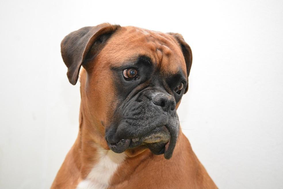 Boxer — Foto: Pixabay