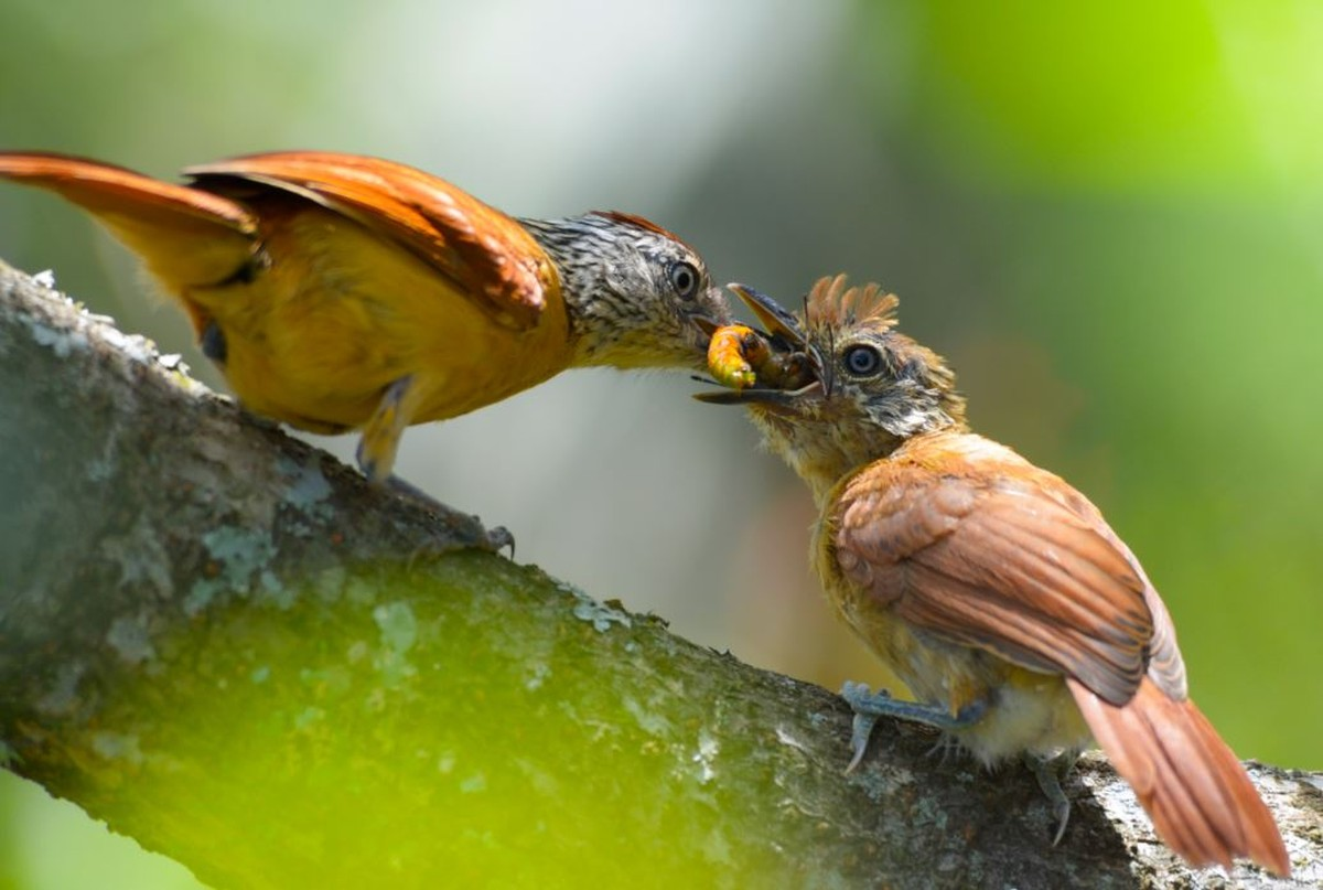 Choca-barrada alimenta filhote e é fotografada por observadora