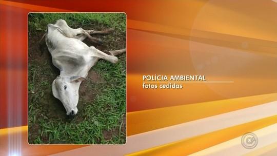 Polícia Ambiental multa dono de sítio em R$ 140 mil por deixar gado agonizando em pasto