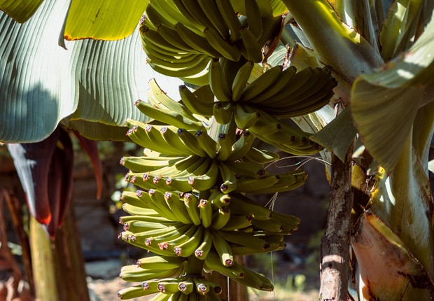 Banana, fruta (Foto: Pexels)