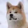 Papel de Parede: Akita