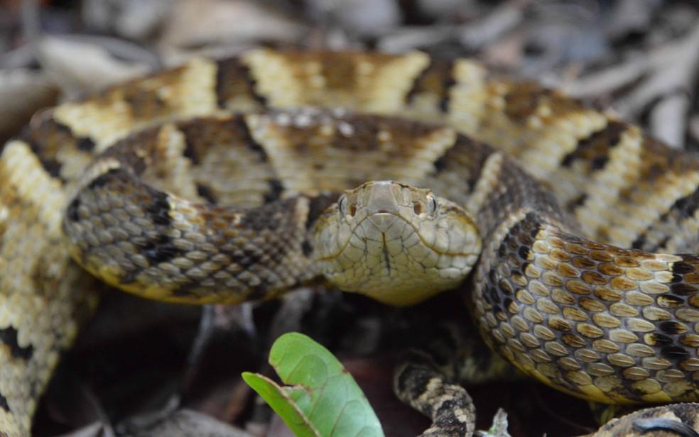 Jararaca é uma espécie de cobra venenosa — Foto:  Igor Macedo/Divulgação