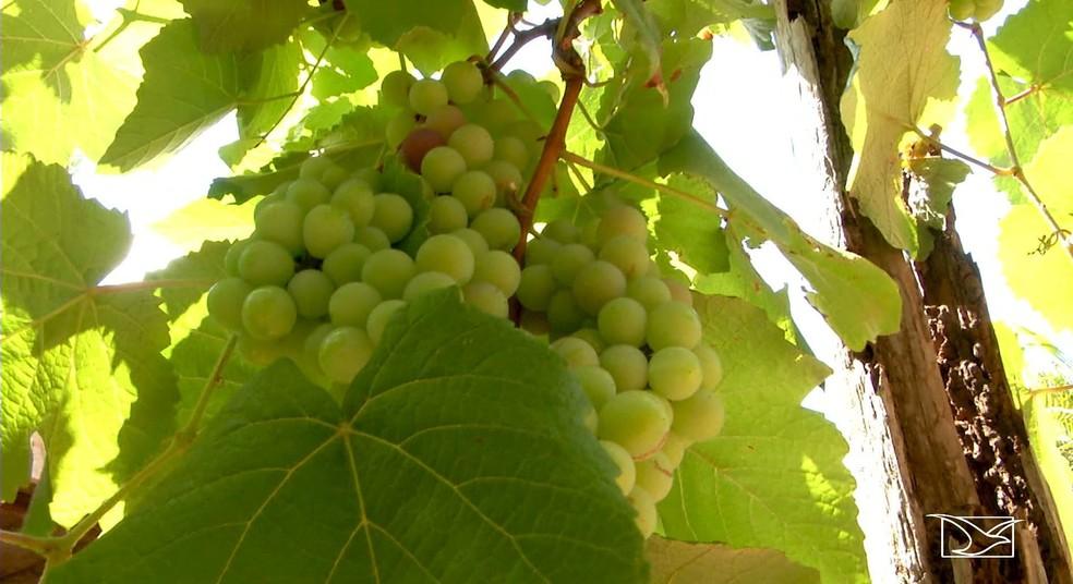 Frio em Sucupira do Norte acaba contribuindo para a plantação da uva  (Foto: Reprodução/TV Mirante)