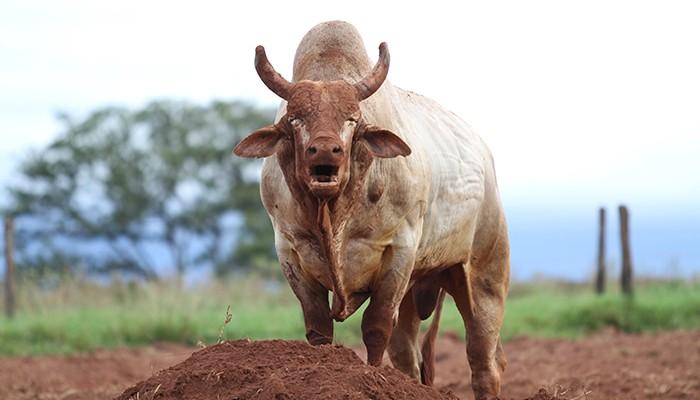 touro-agressivo (Foto: André Silva/Divulgação)