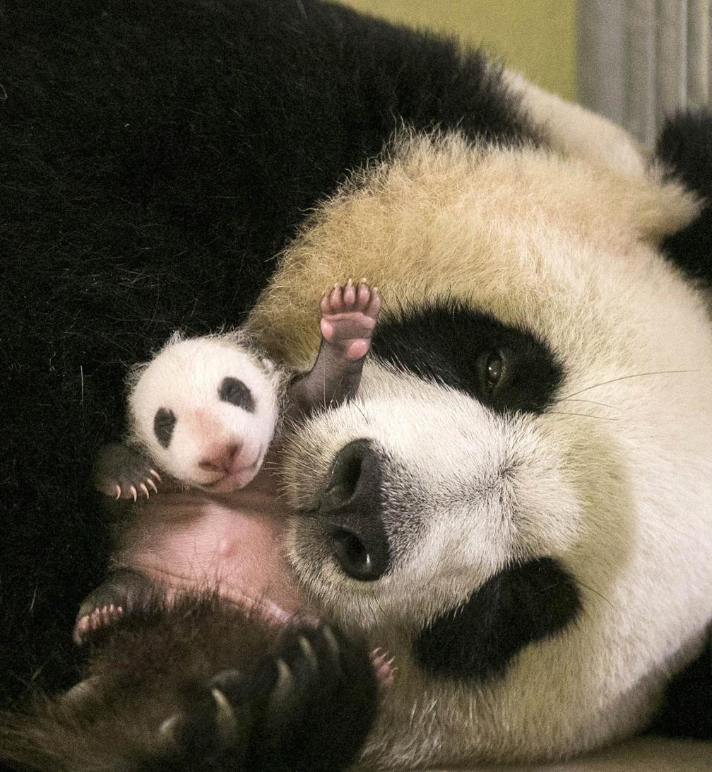 O panda bebê Mini Yuan Zi parece acenar dando tchau enquanto é cuidado por sua mãe, Huan Huan, no zoológico Beauval, em Saint-Aignan-sur-Cher, na região central da França (Foto: ZooParc de Beauval via AP)