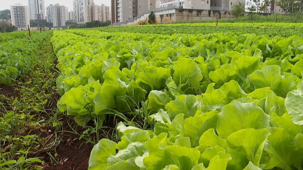 Producción de hortalizas en Ribeiráo Preto, en el estado de Sao Paulo - Foto: Ronaldo Gomes/EPTV