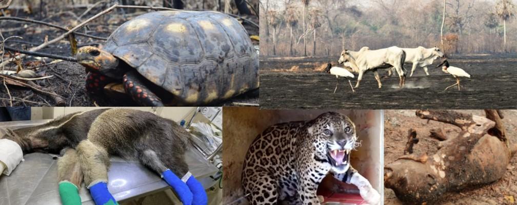 Animais foram afetados drasticamente pelas queimadas no Pantanal.  — Foto: Reprodução