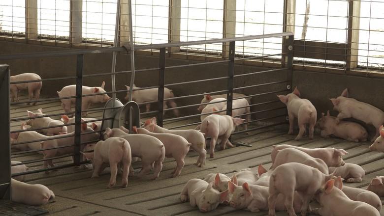 granja-de-suínos-suinocultura-porco (Foto: United Soybean Board/CCommons)