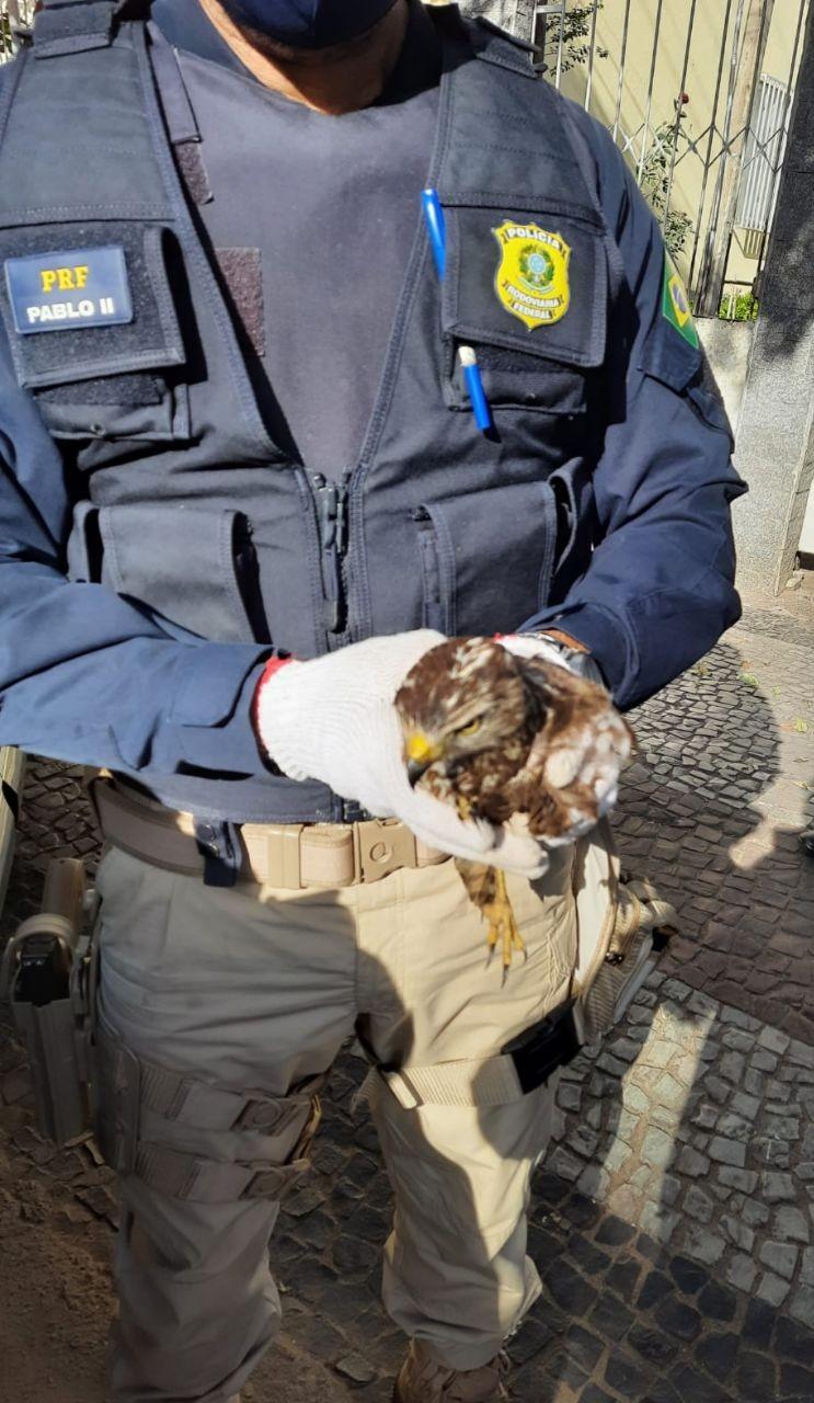 Gavião é resgatado após ser encontrado ferido na BR-393, em Barra do Piraí