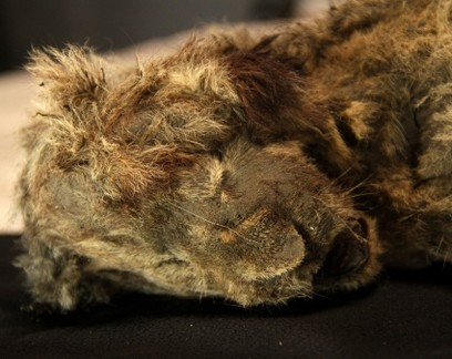 Filhotes congelados de leões-das-cavernas revelam divisão da espécie