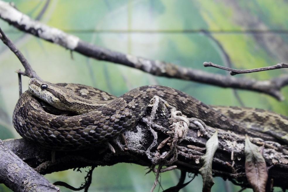 Número de ataques de serpentes cresceu no primeiro semetres de 2108, em Pernambuco (Foto: Acervo Instituto Butantan)