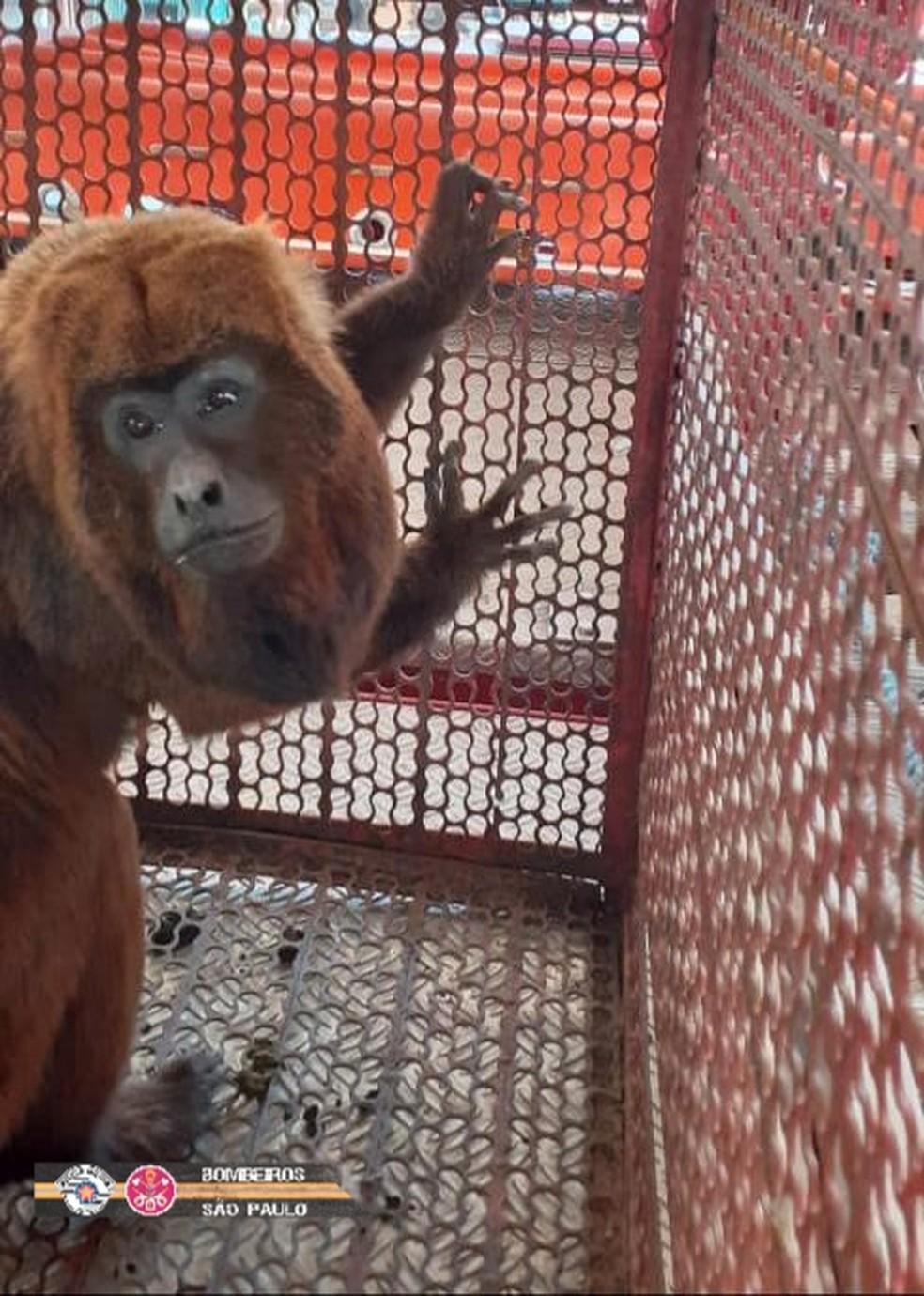 Macaco é capturado por bombeiros após entrar em restaurante em Campos do Jordão — Foto: Divulgação/ Corpo de Bombeiros
