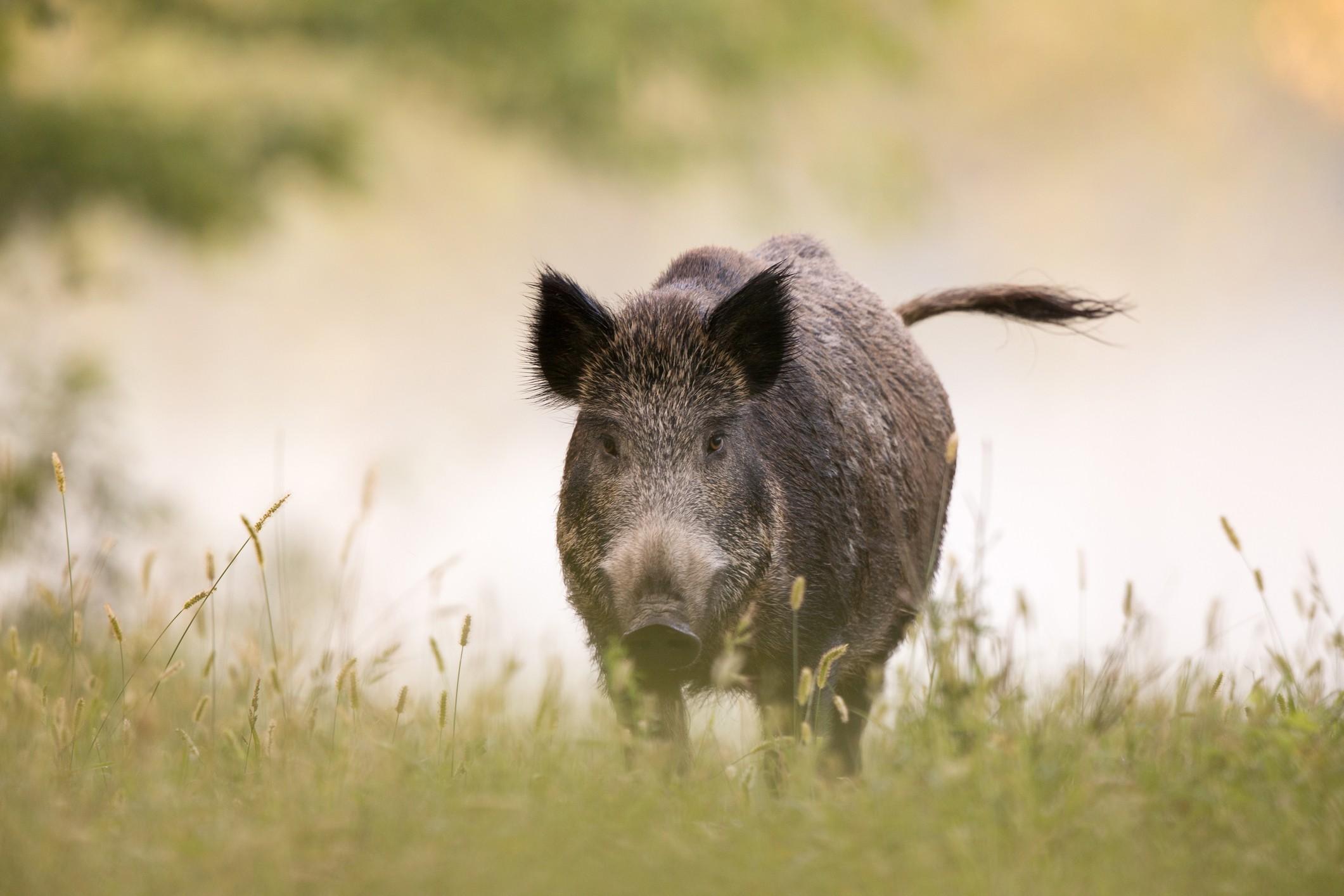 O javali transmite doenças que acometem a fauna nativa e os seres humanos.  (Foto: Getty Images)