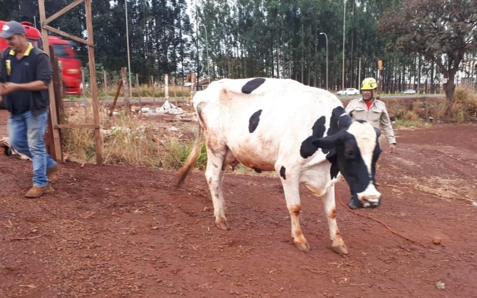 Após resgate, vaca sai andando mancando — Foto: Divulgação/Corpo de Bombeiros