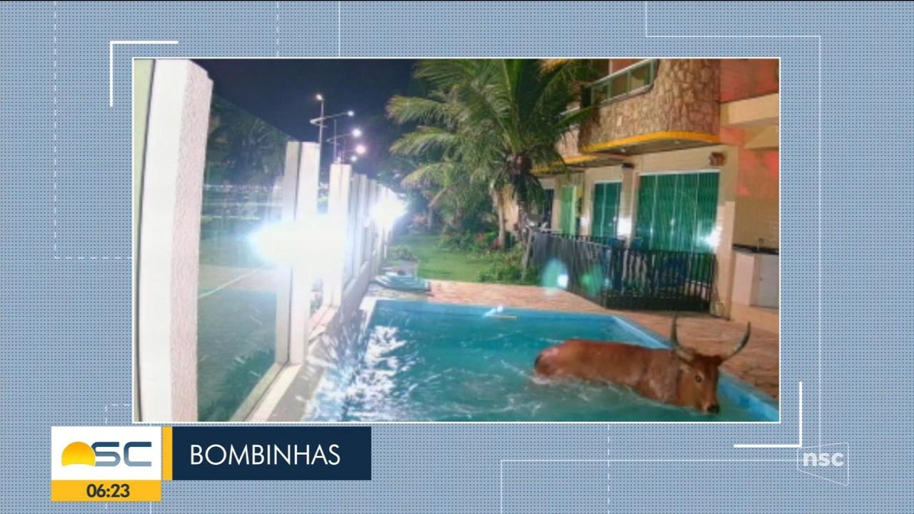 Boi invade pousada e cai em piscina para fugir de farristas em SC