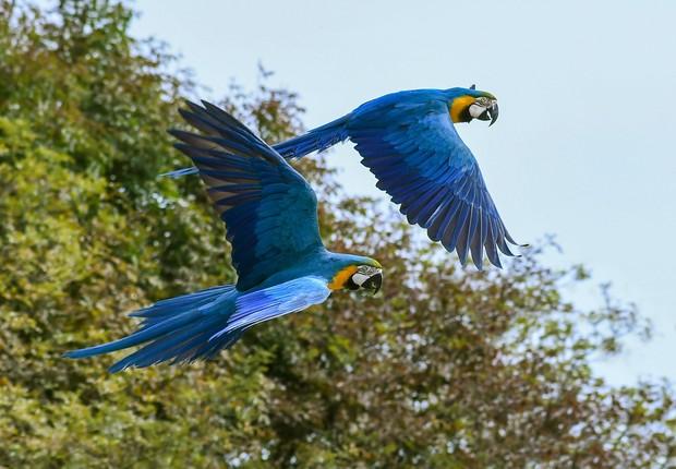Arara Azul é uma das espécies brasileiras extintas (Foto: Pixabay)