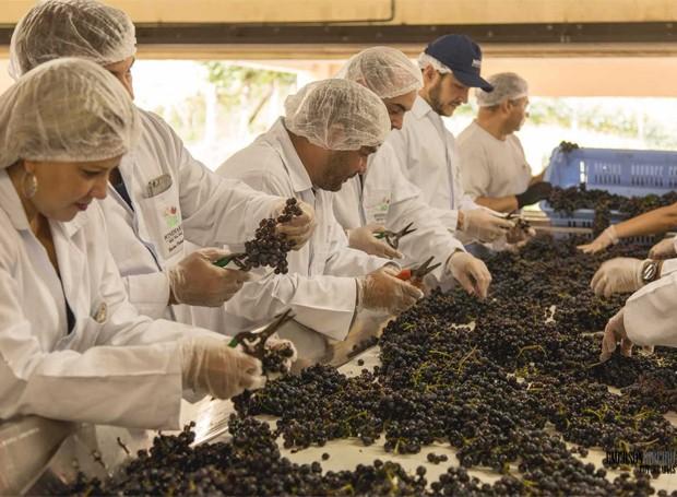 No programa Winemaker Miolo, você passa por todas as etapas de produção de um vinho (Foto: Divulgação)