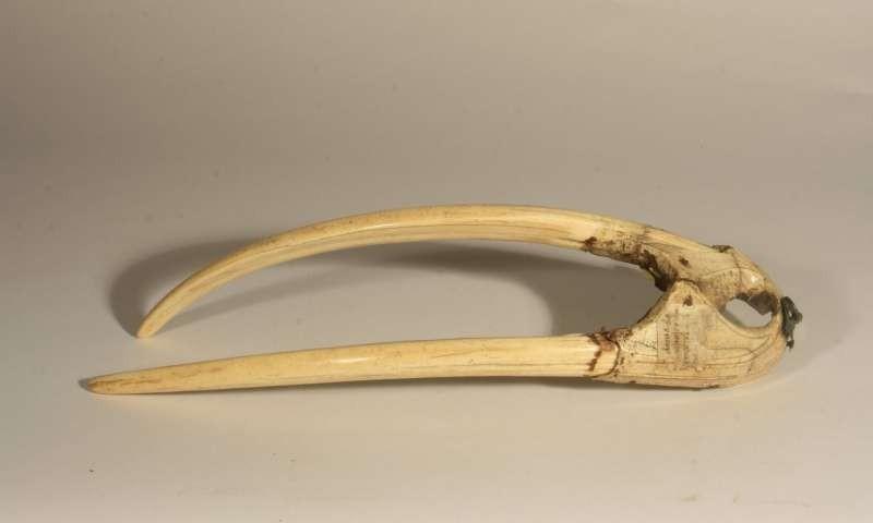 Presas de morsas foram utilizadas como principal commodity pelos povos nórdicos (Foto: University of Oslo)