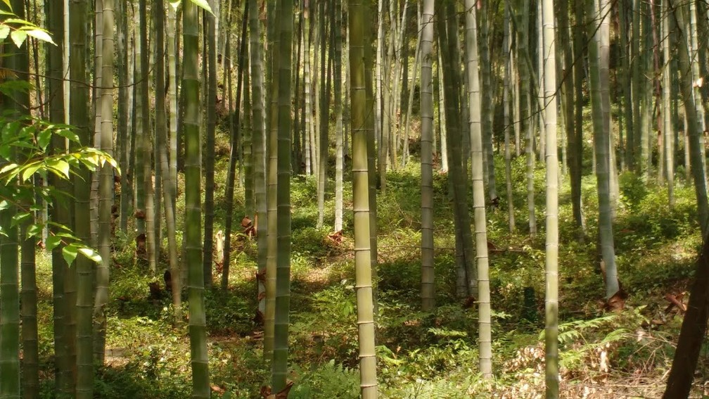 Brasil tem 258 espécies nativas de bambu e cerca de 80 exóticas. — Foto: Juliana Cortez/Arquivo pessoal