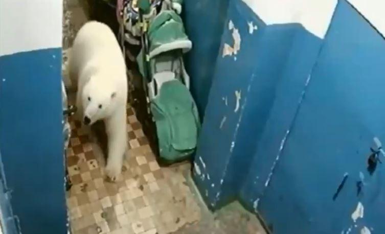 Urso polar passeia ao lado de carrinho de bebê. (Foto: Reprodução / YouTube)