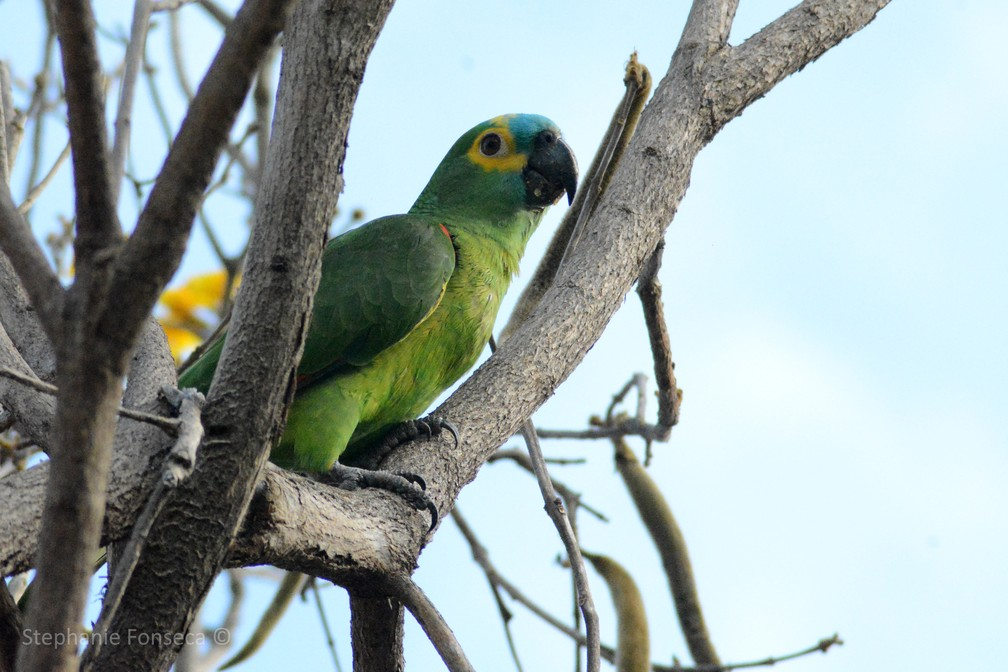 Papagaio-verdadeiro (Amazona aestiva) — Foto: Stephanie Fonseca