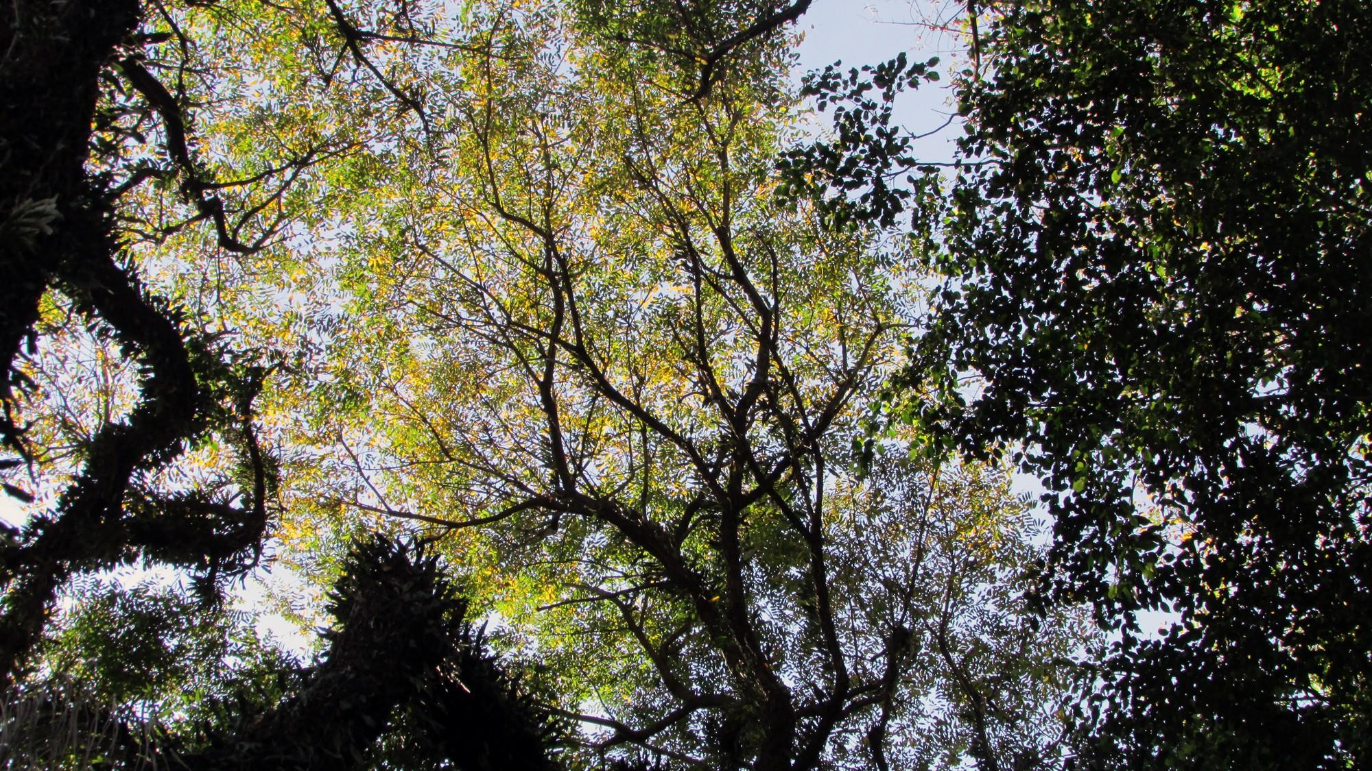 A Tipuana é uma das árvores mais comuns nas ruas da cidade de São Paulo. (Foto: Prefeitura de São Paulo)