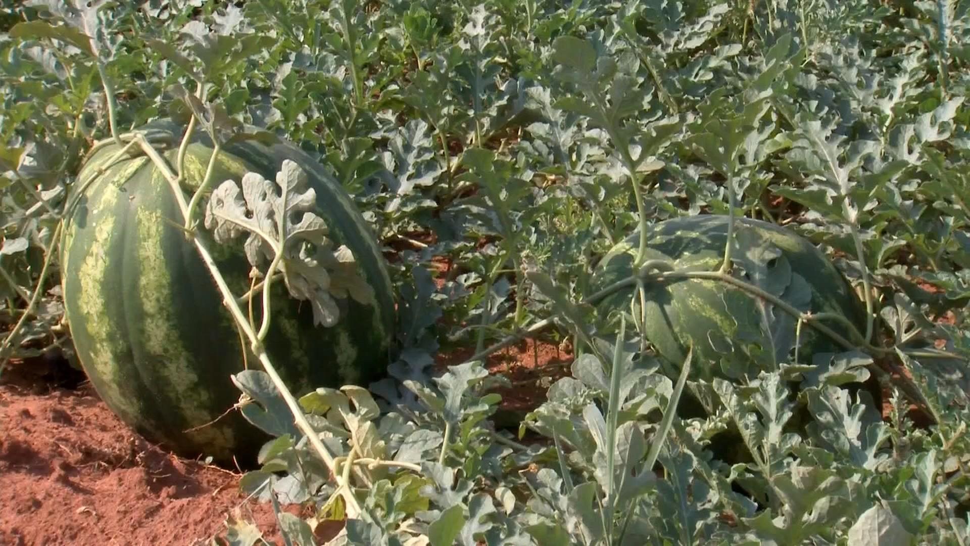 Sistema de irrigação ajuda na produtividade do cultivo de melancia
