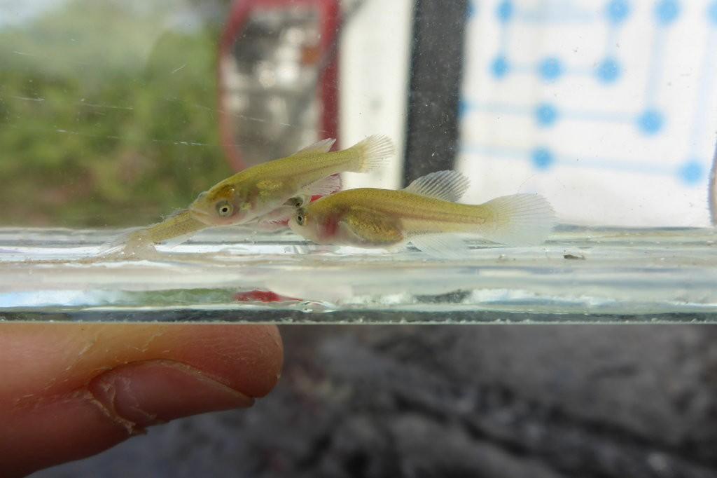Peixes Nothobranchius furzeri com 7 dias de vida (Foto: M. Vrtílek, J. Žák, M. Reichard)
