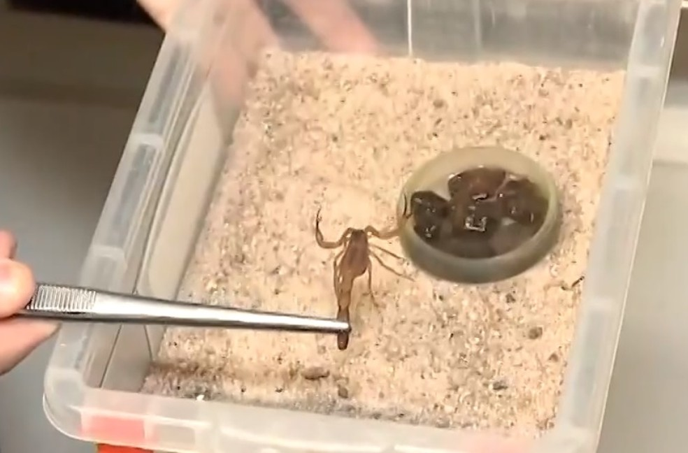 Escorpião  — Foto: Reprodução/TV Subaé