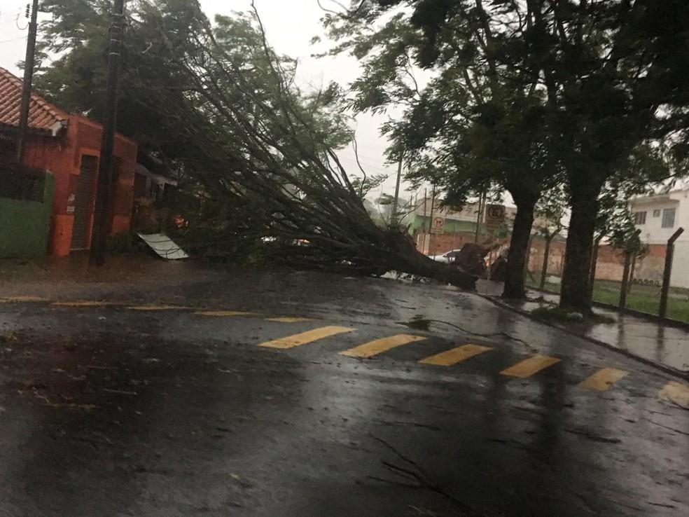 Árvores não resistiu à força do vento em Cândido Mota — Foto: Arquivo pessoal