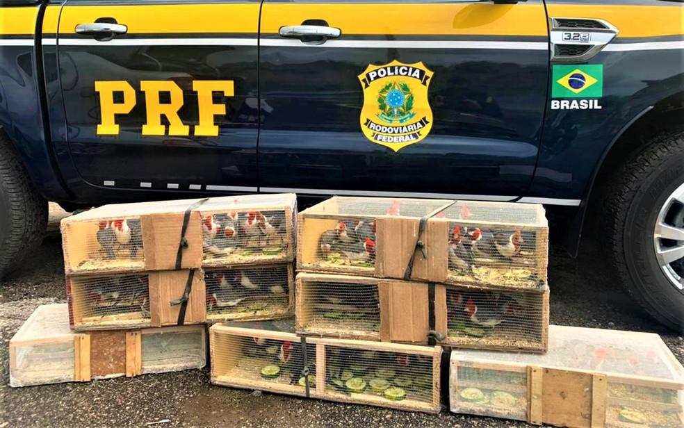 Mais de 100 pássaros silvestres são resgatados dentro de porta-malas de carro na BR-116, em Poções, na Bahia — Foto: Divulgação/PRF