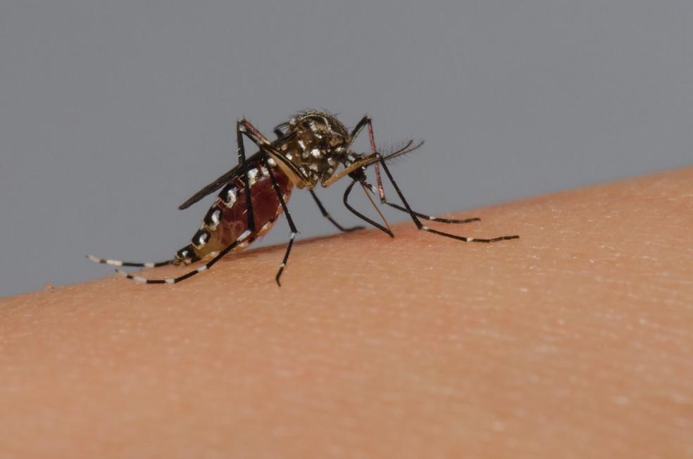 Mosquito Aedes aegypti — Foto:  Rodrigo Méxas e Raquel Portugal/Fundação Oswaldo Cruz/Divulgação
