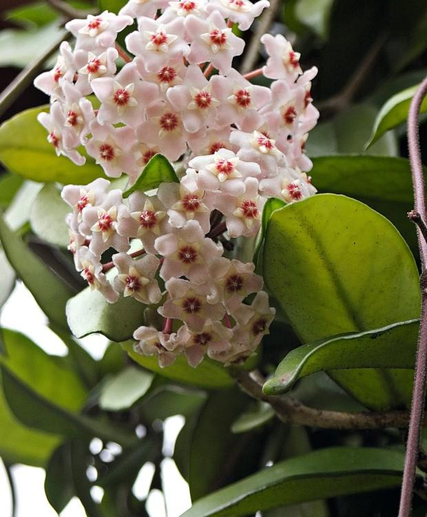 Flor-de-cera floresce na primavera e forma buquês carregados (Foto: André Fortes / Editora Globo)