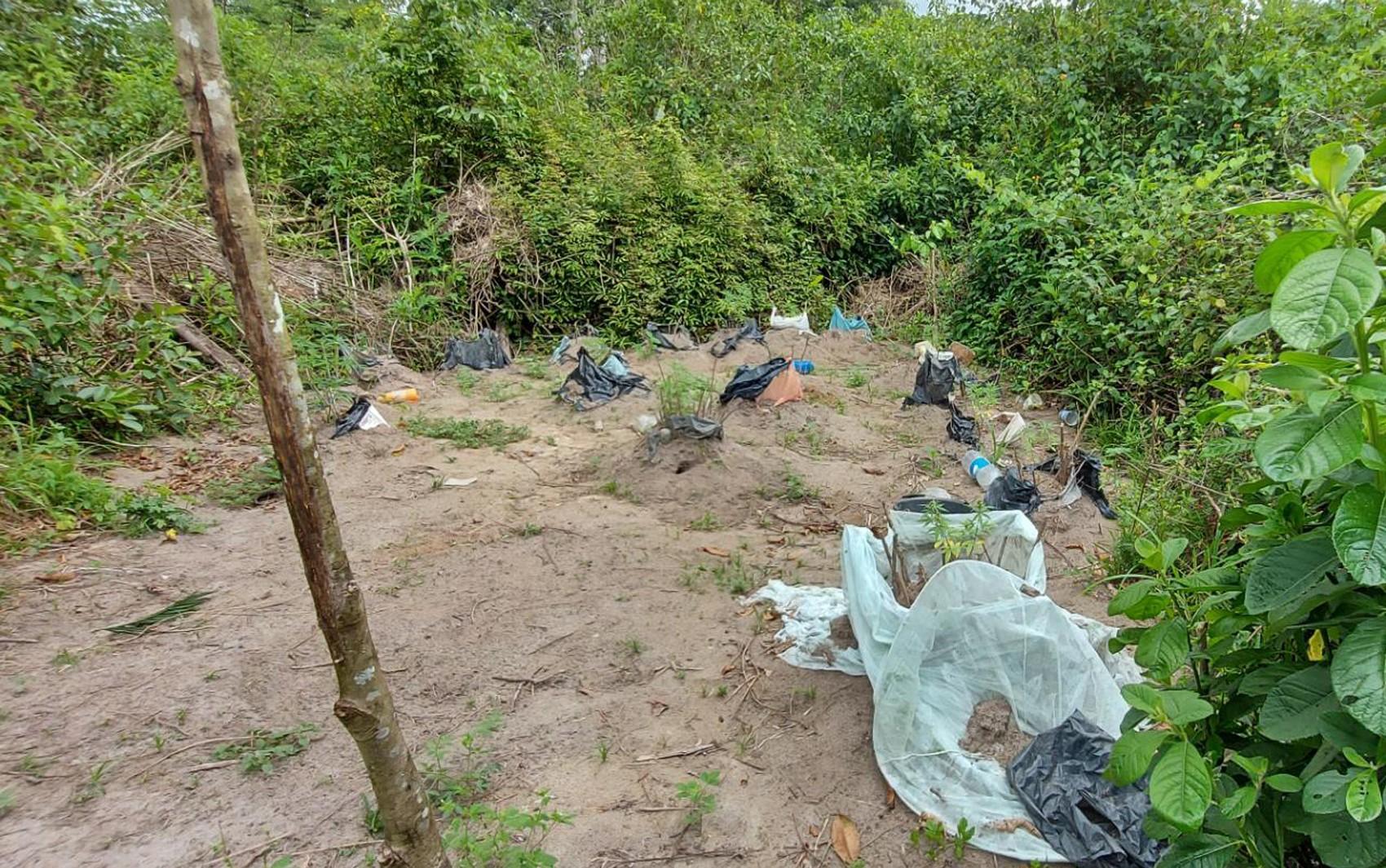 Plantação com 35 pés de maconha é localizada em fazenda no sul da Bahia