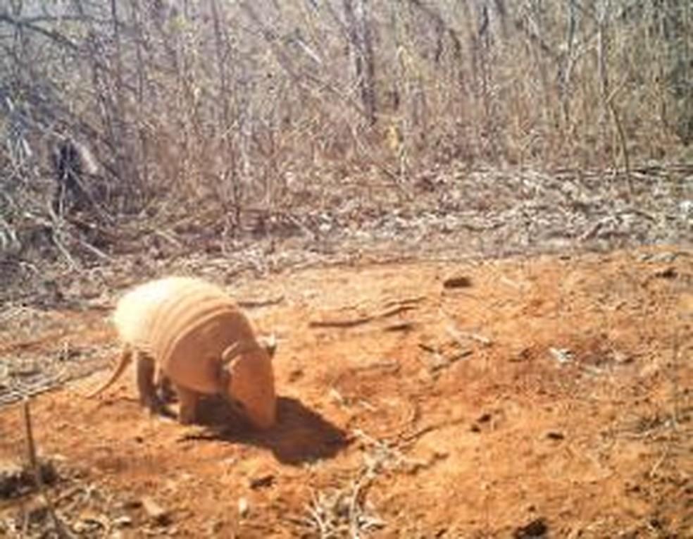 Tatu-peba está na lista de animais localizados no parque de Furna Feia: grande diversidade — Foto: Divulgação/Projeto Felinos da Furna Feia