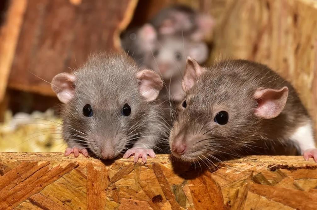 Ratos causam danos  — Foto: Foto: sipa/Pixabay