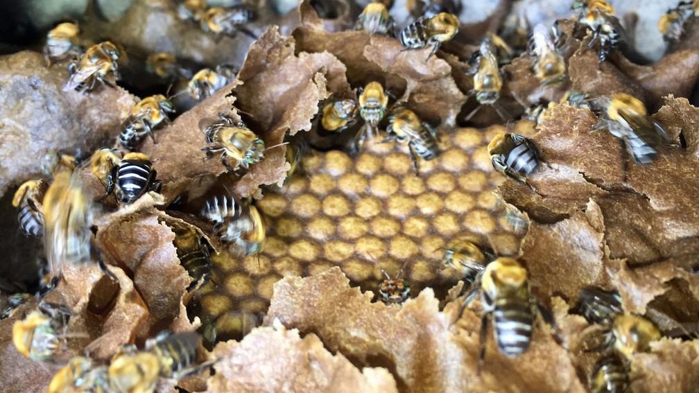 Colmeia de abelhas sem ferrão com crias (ovos) — Foto: Lílian Marques/ G1