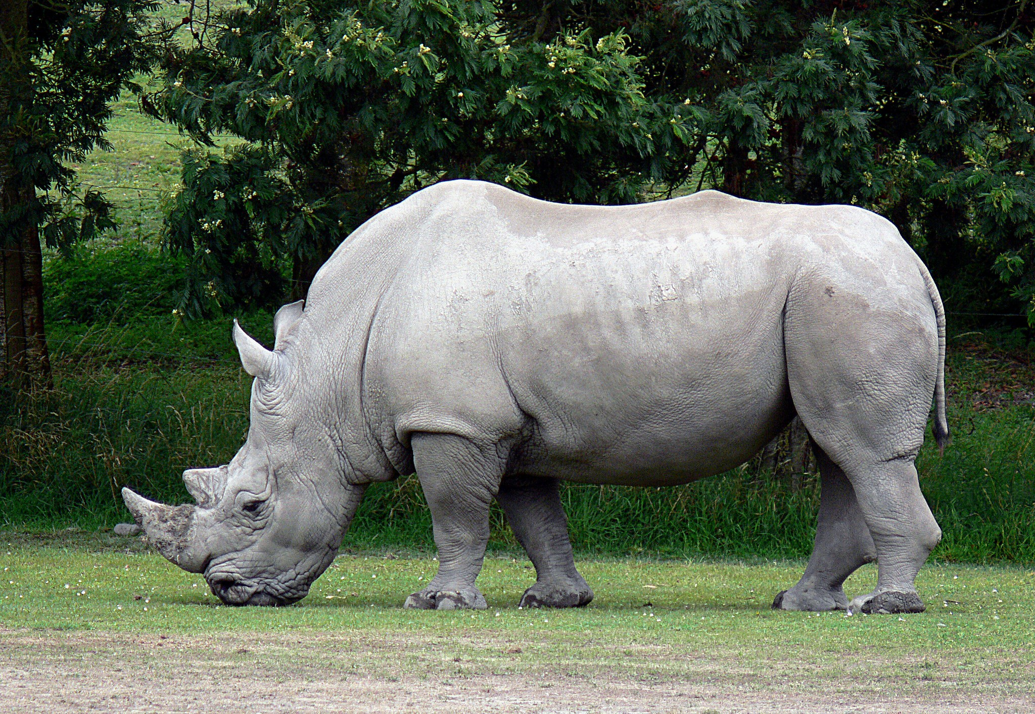 Rinoceronte branco (Ceratotherium simum) (Foto: Flickr/IIP Photo Archive/Creative Commons)